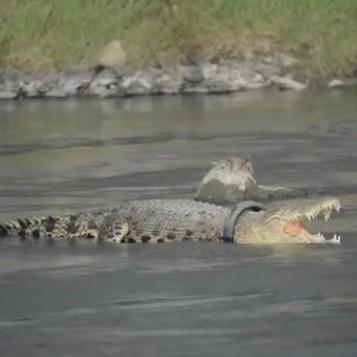 Повече от половин година крокодил живее с гума около врата
